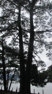 夫婦松樹影を仰ぐ家族との夏
